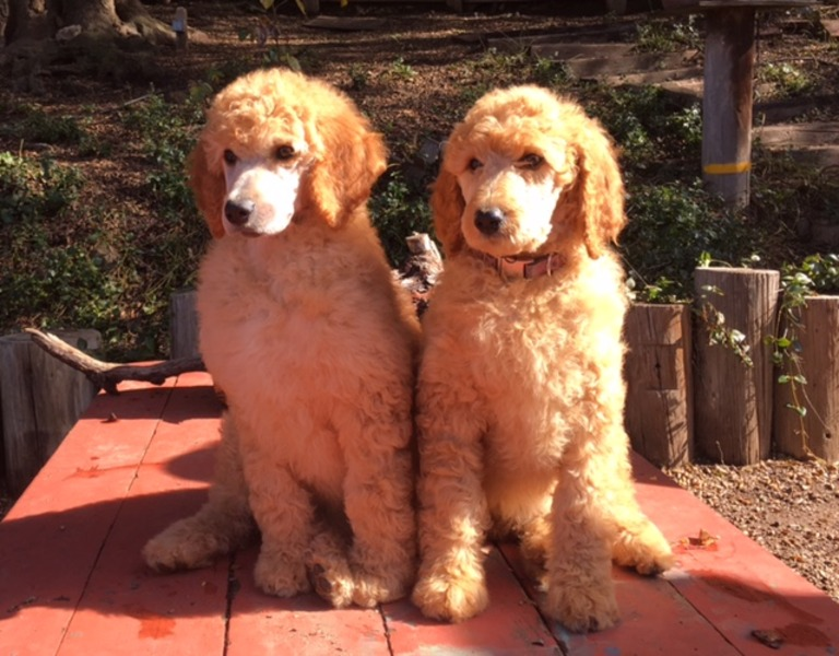 AKC Standard Poodle Puppies Tails dockedDewclaws removed shotswormings very social and lovingV