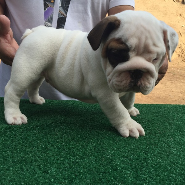 AKC English Bulldog Puppy 9 weeks old great pedigree lots of wrinkles nice rope ready for new home